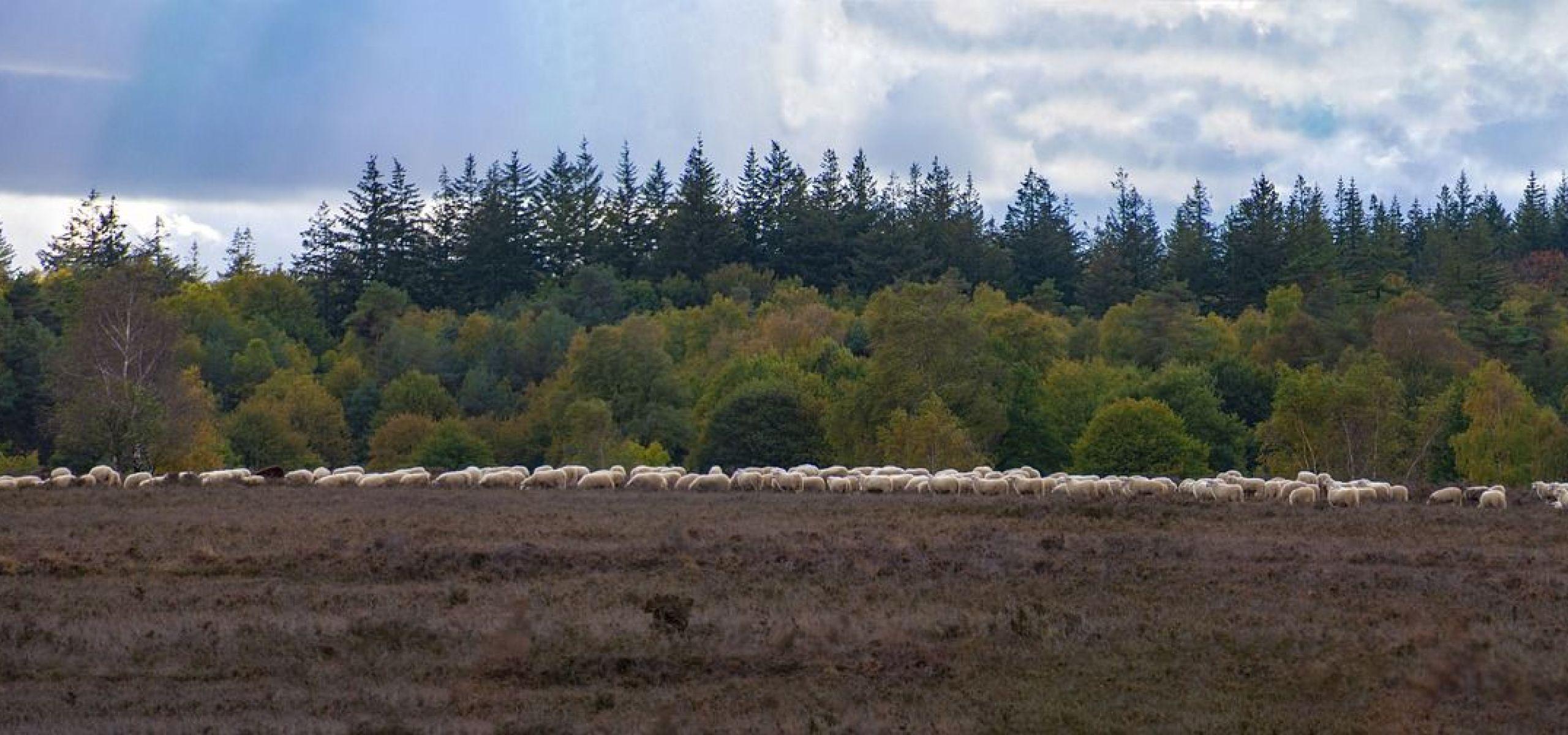 Veld met schapen